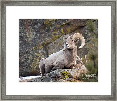 Big Horn Framed Print