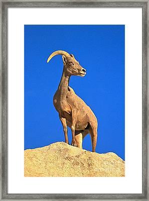 Big Horn Pose Framed Print