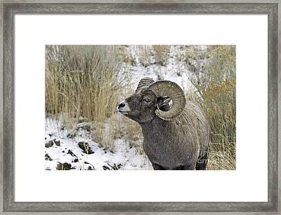 Big Horn Ram Framed Print by Bob Dowling