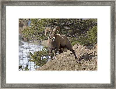 Big Horn Ram Framed Print