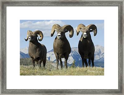 Big Horn Sheep Framed Print by Bob Christopher