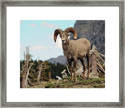 Big Horn Sheep, Glacier National Park Framed Print