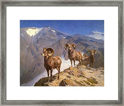 Big Horn Sheep On Wilcox Pass Framed Print