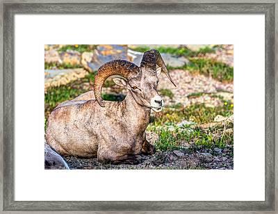 Big Horn Sheep Portrait Framed Print
