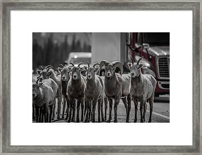 Big Horn Sheep Road Block Framed Print