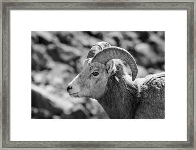 Big Horn Sheep Profile Framed Print