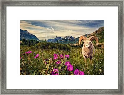 Big Horn Sheep Framed Print by Tracy Munson