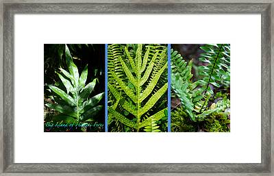 Big Island Of Hawaii Ferns Framed Print by Colleen Cannon