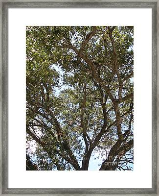Big Oak Tree Framed Print