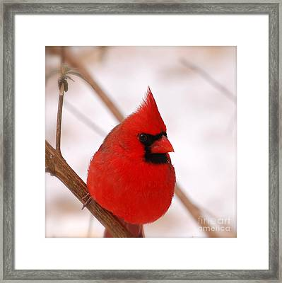 Big Red  Cardinal Bird In Snow Framed Print