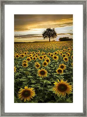 Big Sunflower Field Framed Print by Debra and Dave Vanderlaan