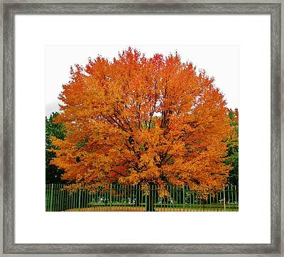 Big Tree In Autumn Framed Print by Thomas  McGuire