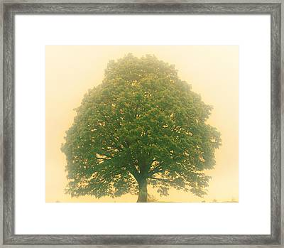 Big Tree In Early Morning Mist Framed Print