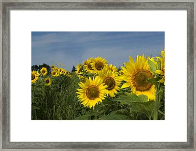 Big Yellow Sunflowers In A Michigan Field Framed Print by Diane Lent