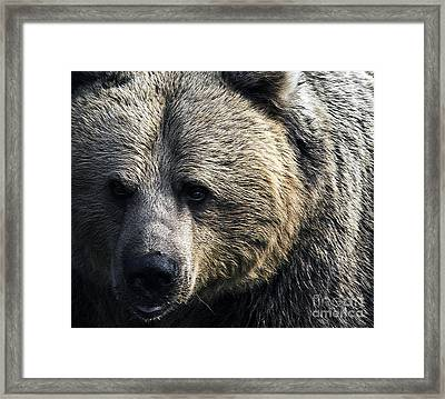 Bigger Than The Average Bear Framed Print by Rick Bransby