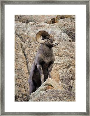 Framed Print featuring the photograph Bighorn Big Boy by Kevin Munro