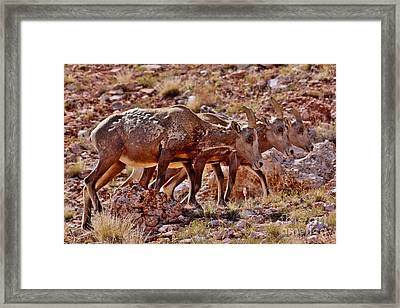 Framed Print featuring the photograph Bighorn Canyon Sheep Trio by Janice Rae Pariza