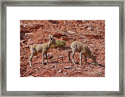Framed Print featuring the photograph Bighorn Canyon Sheep Wyoming by Janice Rae Pariza