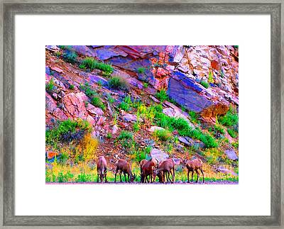 Framed Print featuring the photograph Bighorn Grazing Convention by Ann Johndro-Collins