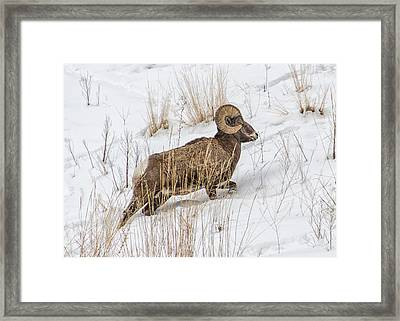 Bighorn In Yellowstone Framed Print
