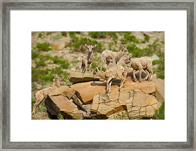 Framed Print featuring the photograph Bighorn Playground by Aaron Whittemore