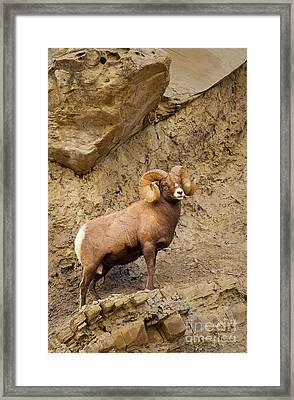 Framed Print featuring the photograph Bighorn  by Aaron Whittemore