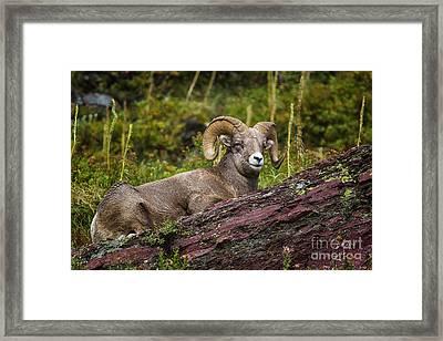 Bighorn Ram 3 Framed Print
