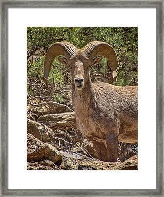 Framed Print featuring the photograph Bighorn Ram by Britt Runyon