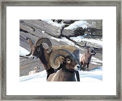 Bighorn Rams Framed Print
