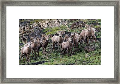 Framed Print featuring the photograph Bighorn Reunion by Steve McKinzie