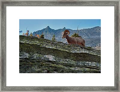Bighorn Framed Print by Sebastian Musial