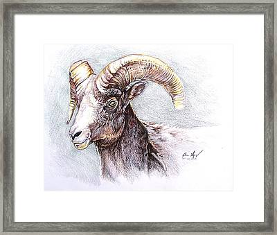 Bighorn Sheep Framed Print by Aaron Spong