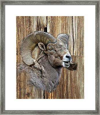 Bighorn Sheep Barnwood Framed Print by Steve McKinzie