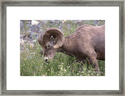 Framed Print featuring the photograph Bighorn Sheep by Chris Scroggins