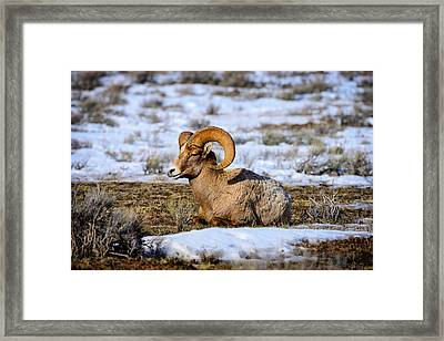 Framed Print featuring the photograph Bighorn Sheep by Greg Norrell