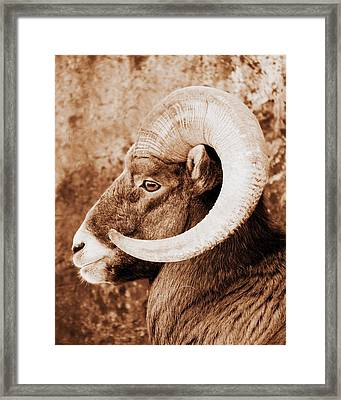 Bighorn Sheep Profile Framed Print by Ramona Johnston