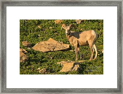 Bighorn Sheep Ram In Glacier 2 Framed Print by Natural Focal Point Photography
