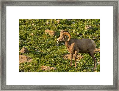 Bighorn Sheep Ram In Glacier 3 Framed Print by Natural Focal Point Photography