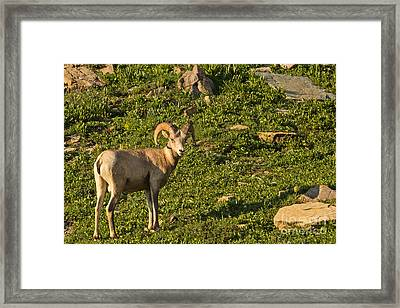 Bighorn Sheep Ram In Glacier 4 Framed Print by Natural Focal Point Photography
