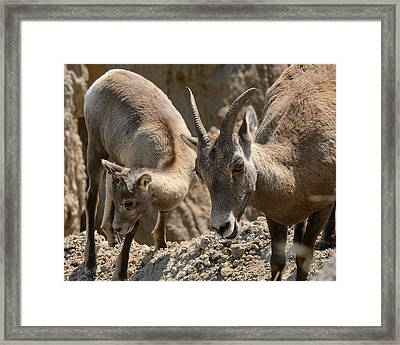 Bighorn Sheep Framed Print by Robin Williams