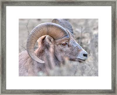 Bighorn Soft Framed Print by Britt Runyon
