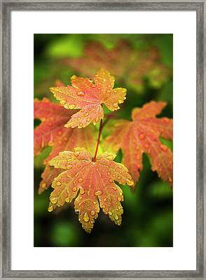 Bigleaf Maple Leaves Catch Raindrops Framed Print
