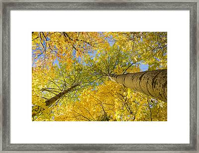 Bigtooth Canopy Framed Print