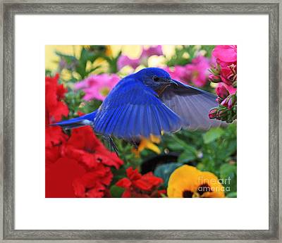 Billy Bluebird Landing Framed Print