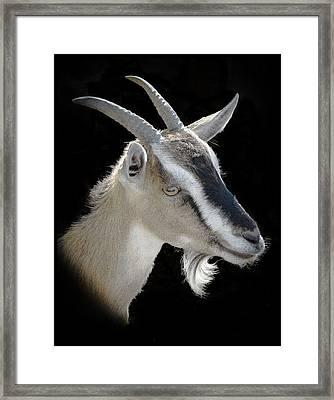 Billy Goat Framed Print