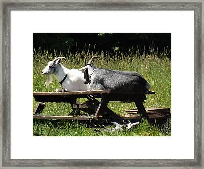 Billy Goats Picnic Framed Print by Brenda Brown
