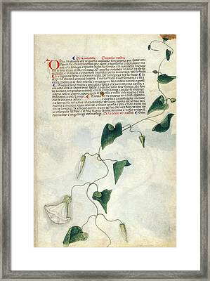 Bindweed (convolvulus Sp.) Framed Print by British Library