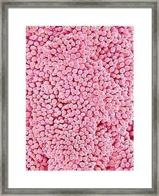 Bindweed Flower Stigma Framed Print by Susumu Nishinaga