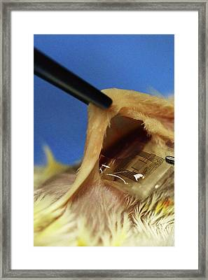 Biodegradable Electronic Implant Framed Print by Professor John Rogers, University Of Illinois