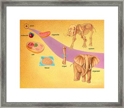 Biological Organization Framed Print by Carlyn Iverson